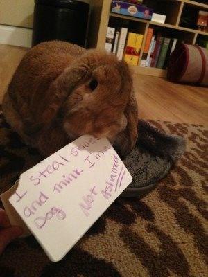 Domestic rabbit - Soo and mink I S 407