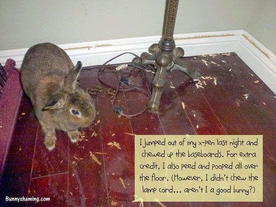 Rat - I jumped out of my x-pen last night and chewed up the baseboards. For extra credit, I also peed and Pooped all over the floor. (ttowever, I didn't chew the lanp cord... aren't I a good bunny?) Bunnyshaming.com