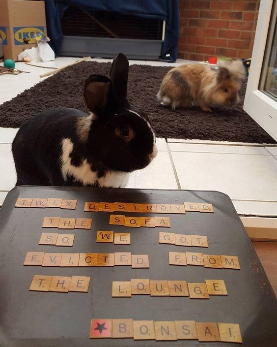 Domestic rabbit - OKED X O YED DES T S OF A T. HE G O T S O F ROM E. V C TED THE L OU NG E SA B O N