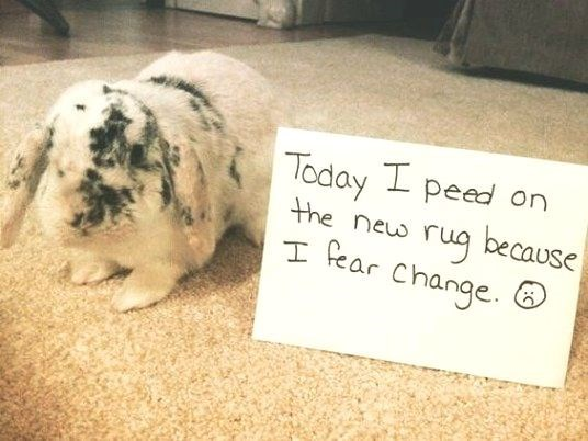 Domestic rabbit - Today peed on the neus rug because T Rear Change