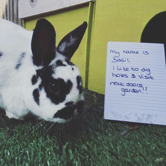 Domestic rabbit - Mynane is 3asil Iixe to dig holes Visit next doois garden!
