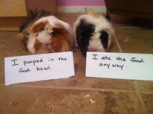 Guinea pig - I ate the ood L pooped in the food bowl. any way