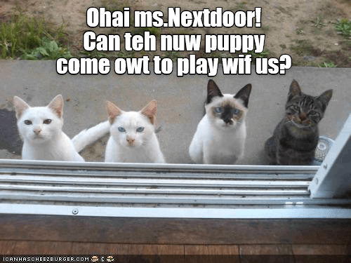 cat meme - Cat - Ohai ms.Nextdoor! Can teh nuw puppy Ccome owt to play wif us? ICANHASCHEE2E URGER COM