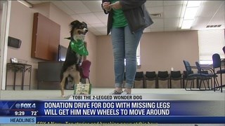 Canidae - TO8I THE 2-LEGGED WONDER DOG DONATION DRIVE FOR DOG WITH MISSING LEGS WILL GET HIM NEW WHEELS TO MOVE AROUND FOx4 9:29 72 HEADLINES