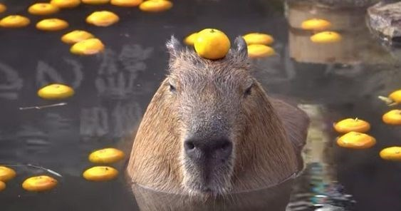 animal pic - Capybara