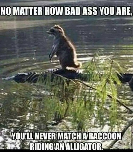 animal pic - Adaptation - NO MATTER HOW BAD ASS YOU ARE, YOULL NEVER MATCHARACCOON RIDING ANALLIGATOR