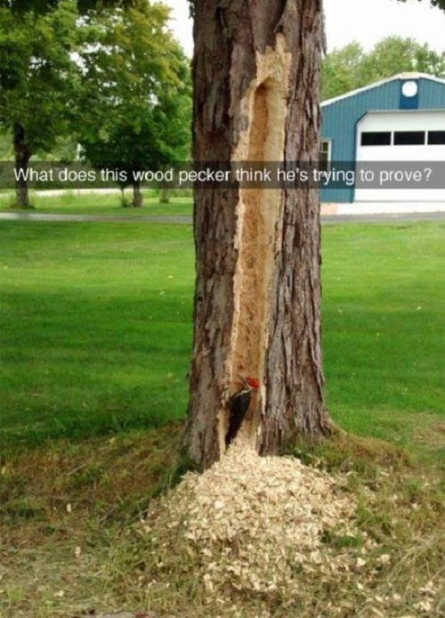 animal pic - Tree - What does this wood pecker think he's trying to prove?