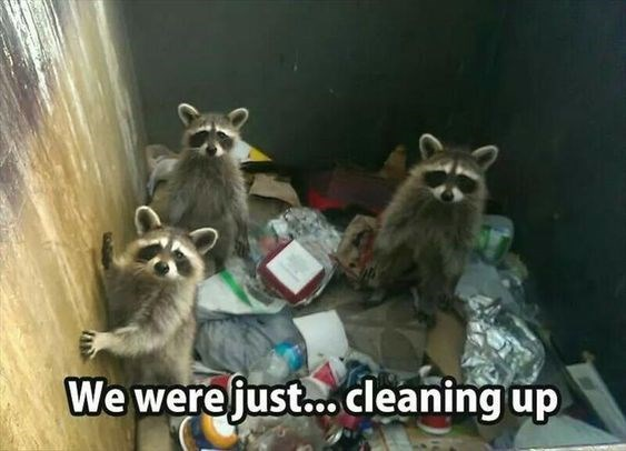 animal pic - Procyonidae - We were just... cleaning up