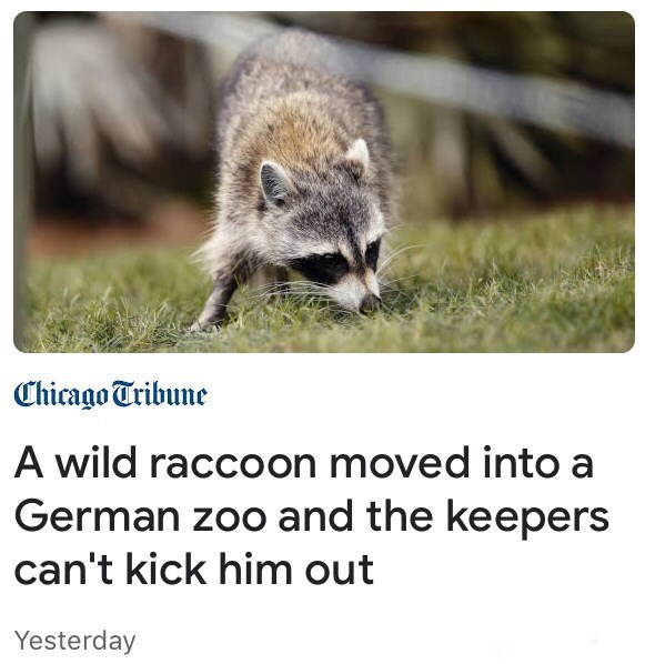Wildlife - Chicago Tribune A wild raccoon moved into a German zoo and the keepers can't kick him out Yesterday