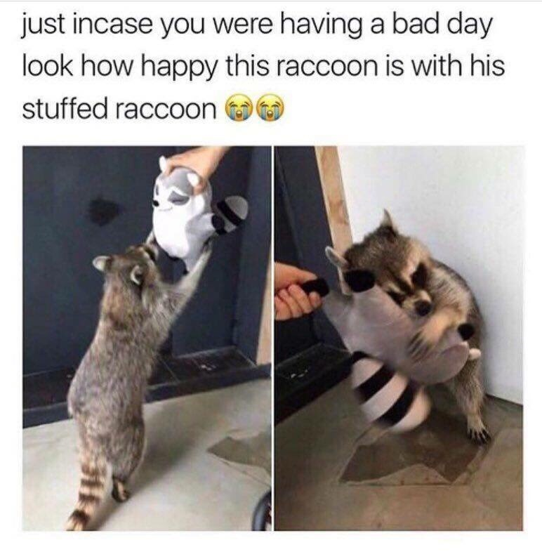 Cat - just incase you were having a bad day look how happy this raccoon is with his stuffed raccOon