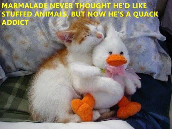 funny cat memes lolcats duck ducks cute cats funny cats meow quack Cats cat memes - 9339659008