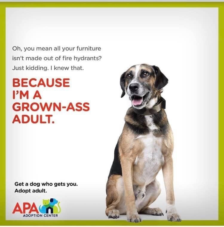 Dog breed - Oh, you mean all your furniture isn't made out of fire hydrants? Just kidding. I knew that. BECAUSE PM A GROWN-ASS ADULT. Get a dog who gets you. Adopt adult. APA ADOPTION CENTER