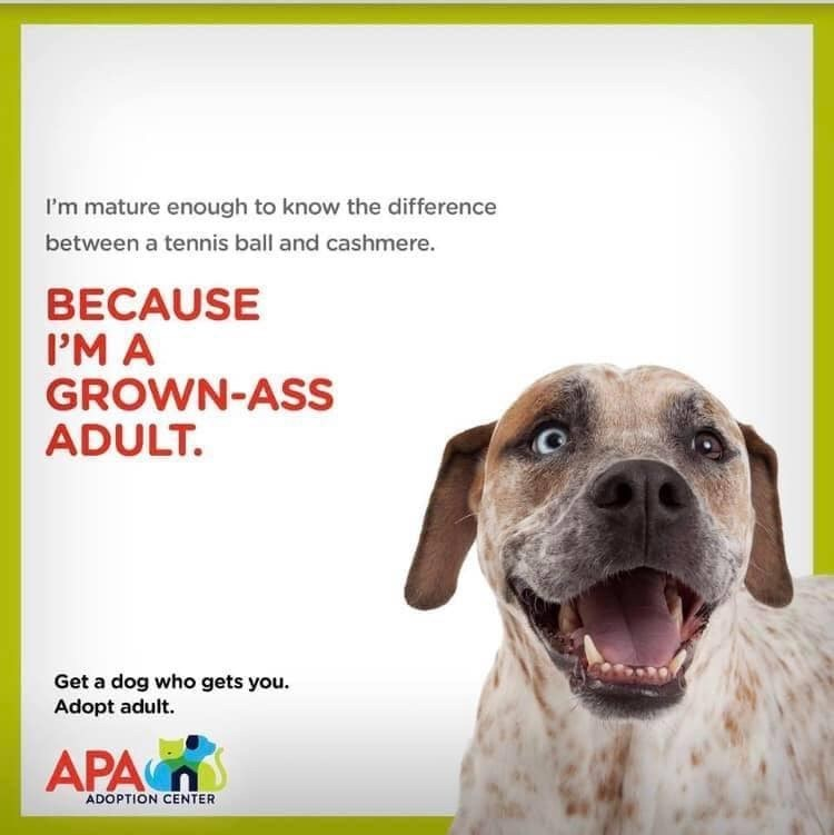 Dog - I'm mature enough to know the difference between a tennis ball and cashmere. BECAUSE IM A GROWN-ASS ADULT. Get a dog who gets you. Adopt adult. APA ADOPTION CENTER