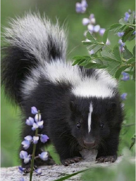 12 Baby Skunks That Are Just Too Stinkin' Cute! - I Can Has ...