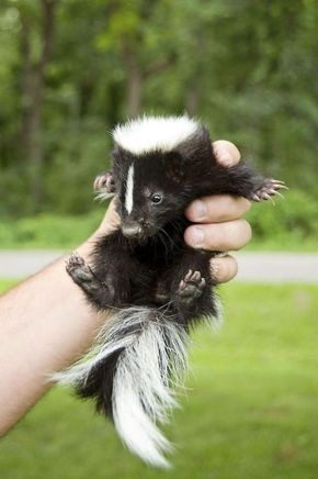 baby skunk - Striped Skunk