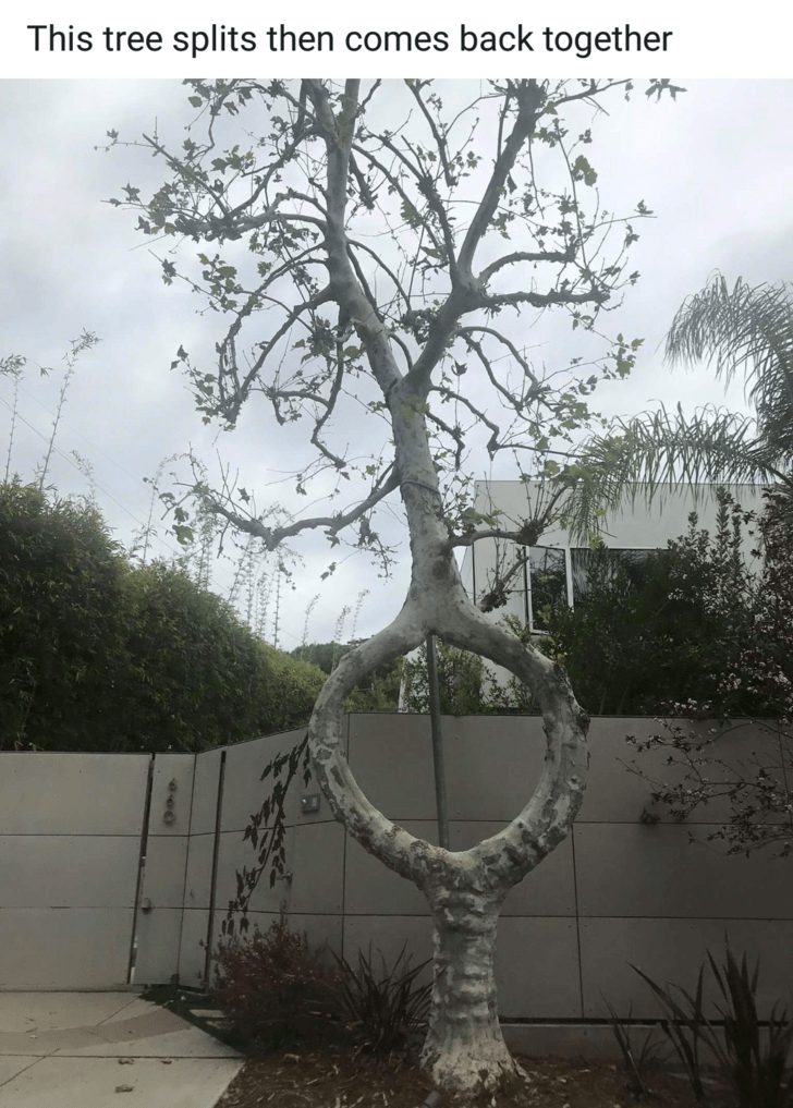 mildly interesting - Tree - This tree splits then comes back together