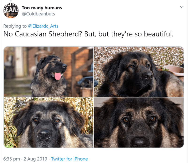 Dog - EINE BEAN ToO many humans @Coldbeanbuts in a de Replying to @Elizardc_Arts No Caucasian Shepherd? But, but they're so beautiful 6:35 pm 2 Aug 2019 Twitter for iPhone