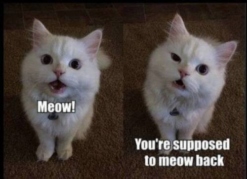 animal meme - Cat - Meow! You're supposed to meow back