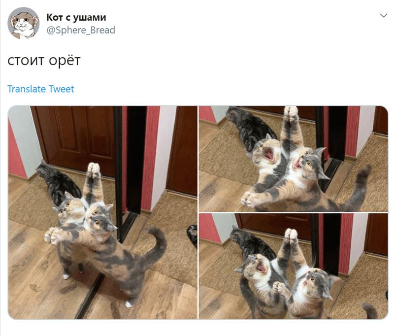 animal tweet - Cat - Кот с ушами @Sphere_Bread стоит орёт Translate Tweet