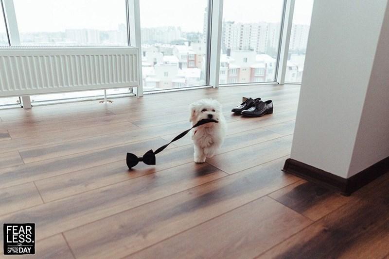 wedding dog - Laminate flooring - EEAE B위운 DAY