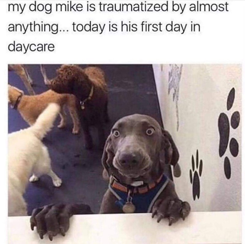 animal meme - Dog - my dog mike is traumatized by almost anything.. today is his first day in daycare