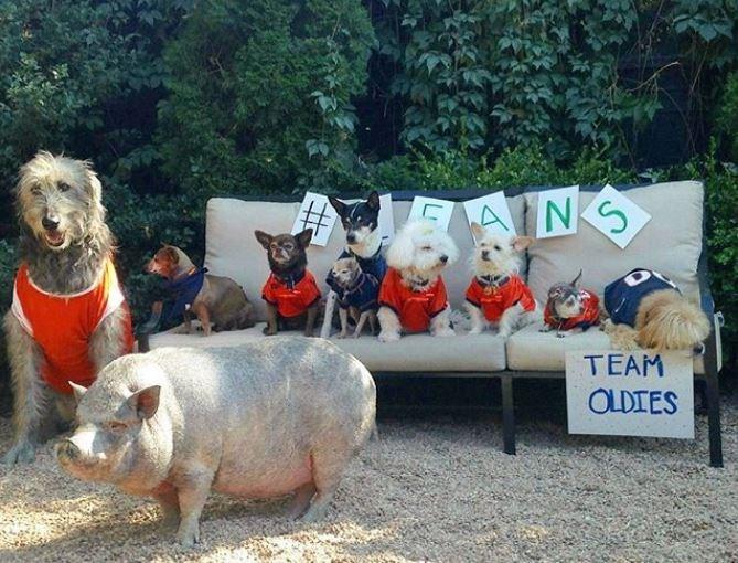 Domestic pig - EAING TEAM OLDIES