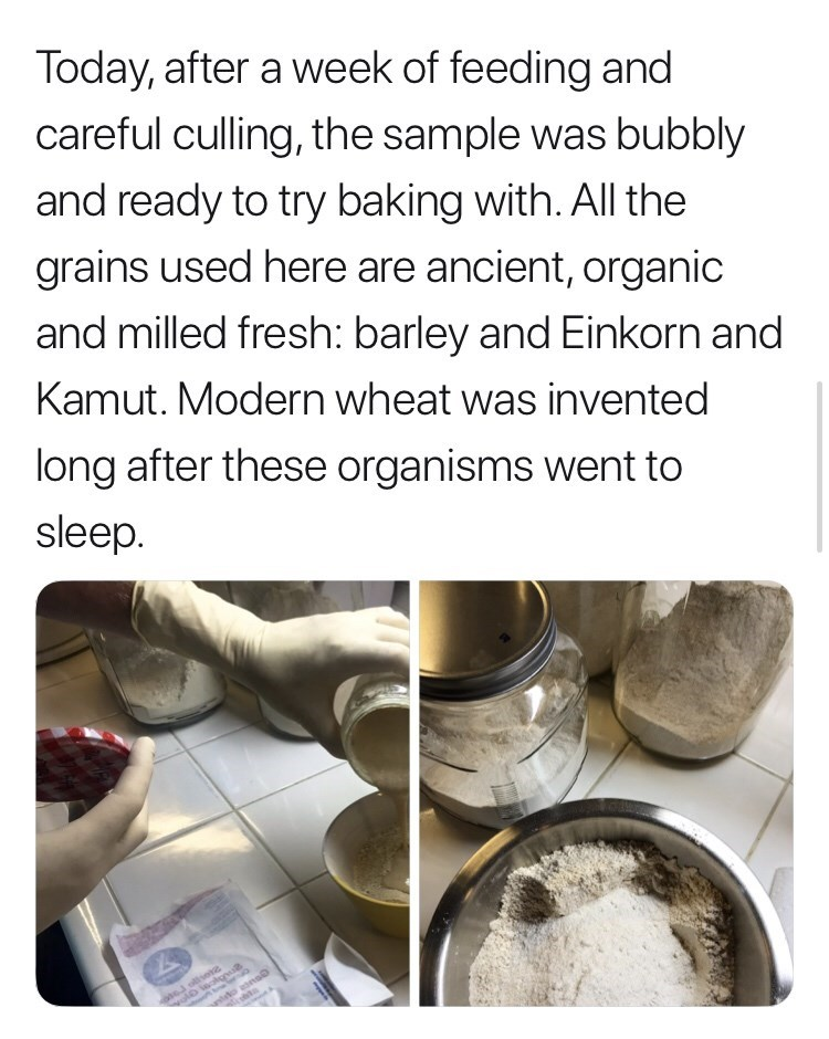 Cuisine - Today, after a week of feeding and careful culling, the sample was bubbly and ready to try baking with. All the grains used here are ancient, organic and milled fresh: barley and Einkorn and Kamut. Modern wheat was invented long after these organisms went to sleep anto asnoD