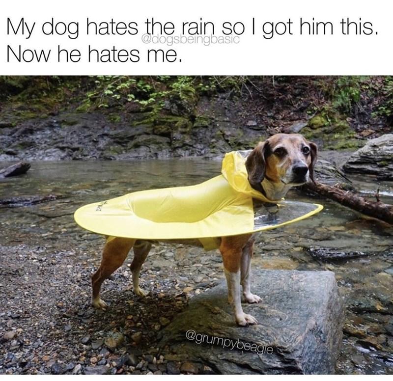 Dog - My dog hates the rain so I got him this. Now he hates me. @dogsbeingbasic @grumpybeagie