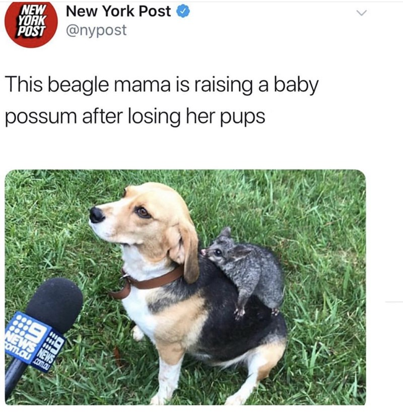 Dog - New York Post NEW YORK POST @nypost This beagle mama is raising a baby possum after losing her pups NEWS SME oM.au com.au