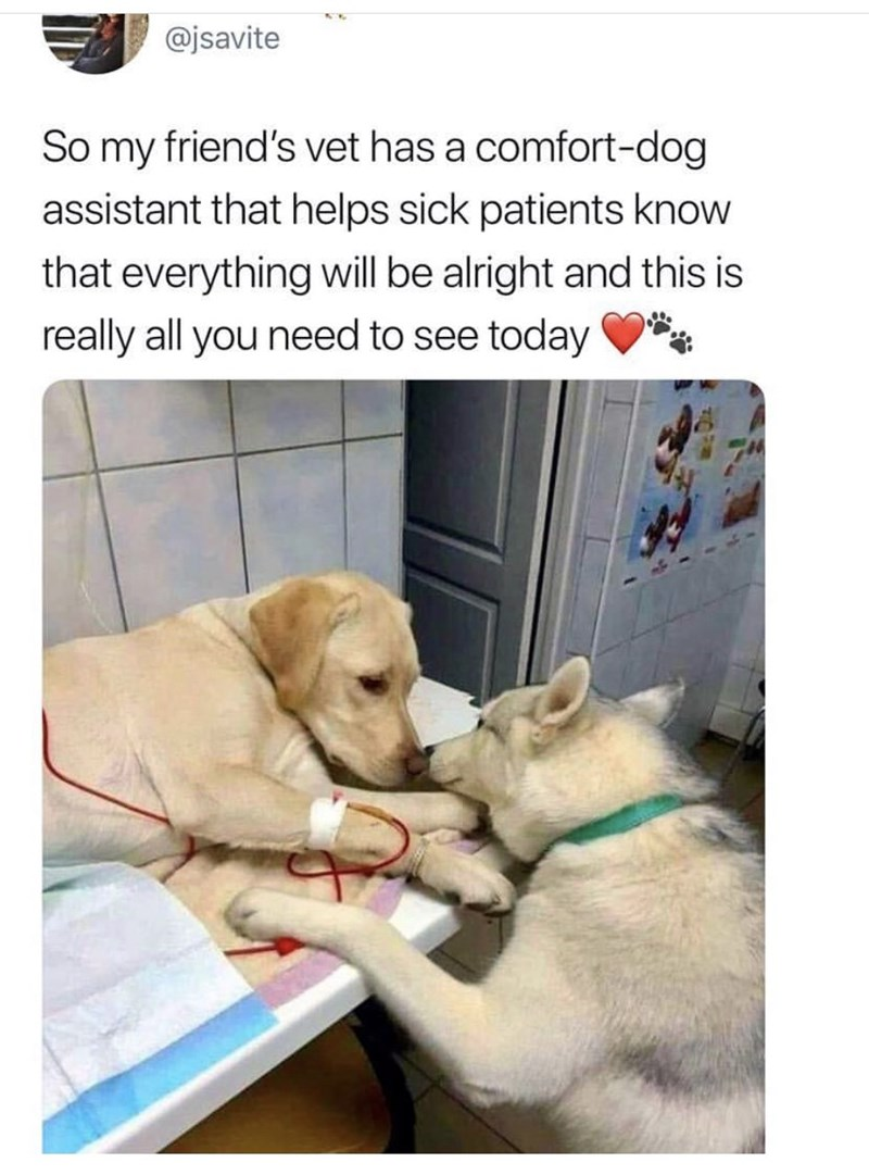 """Meme - """"So my friend's vet has a comfort-dog assistant that helps sick patients know that everything will be alright and this is really all you need to see today"""""""