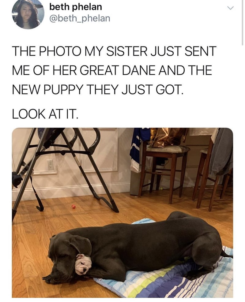 Dog breed - beth phelan @beth_phelan THE PHOTO MY SISTER JUST SENT ME OF HER GREAT DANE AND THE NEW PUPPY THEY JUST GOT LOOK AT IT