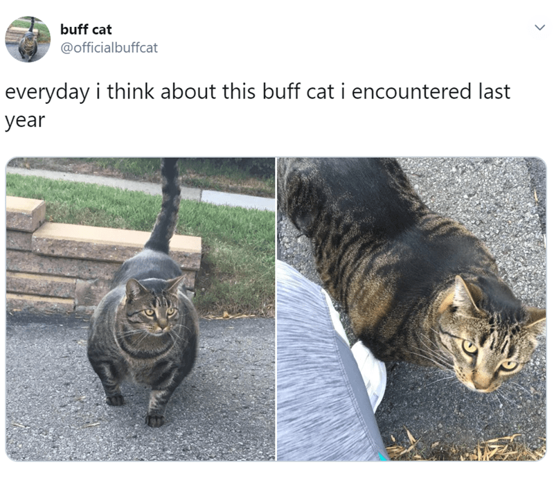 Cat - buff cat @officialbuffcat everyday i think about this buff cat i encountered last year