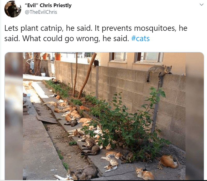 """Adaptation - """"Evil"""" Chris Priestly @TheEvilChris Lets plant catnip, he said. It prevents mosquitoes, he said. What could go wrong, he said. #cats"""
