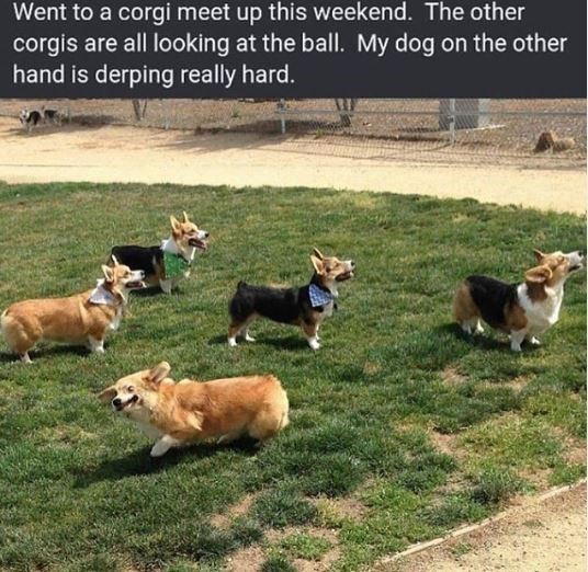Dog - Went to a corgi meet up this weekend. The other corgis are all looking at the ball. My dog on the other hand is derping really hard.