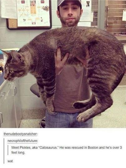 "cat meme - Cat - thenudebootysnatcher: necrophilofthefuture Meet Pickles, aka ""Catosaurus."" He was rescued in Boston and he's over 3 feet long. wat"