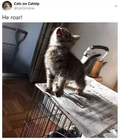 cat meme - Cat - Cats on Catnip @CatsOnCatnip He roar!