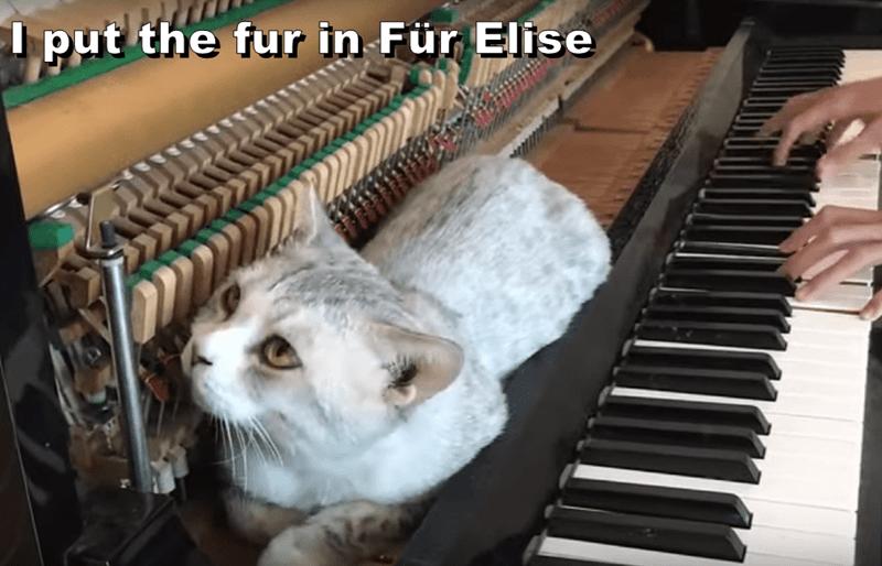 Cat - I put the fur in Für Elise