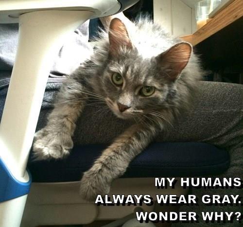 Cat - MY HUMANS ALWAYS WEAR GRAY WONDER WHY?