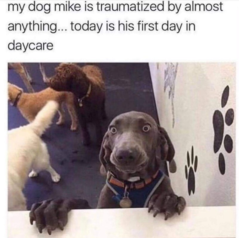 animal meme - Dog - my dog mike is traumatized by almost anything... today is his first day in daycare