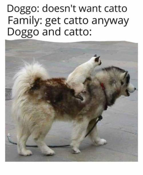animal meme - Dog - Doggo: doesn't want catto Family: get catto anyway Doggo and catto: