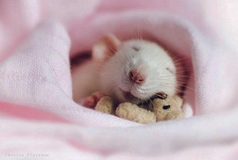 Hamster - Joxca Florese