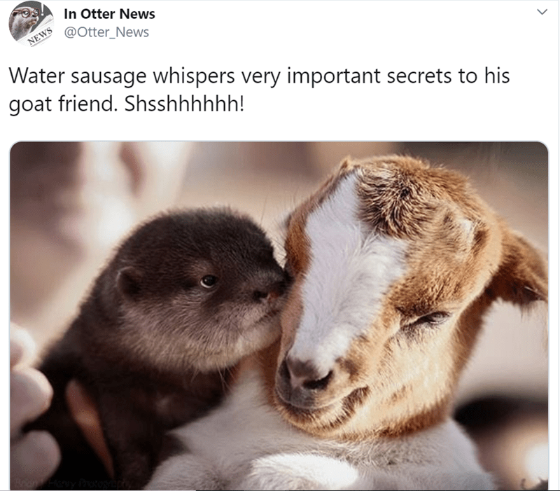 animal tweet - Adaptation - In Otter News @Otter_News NEWS Water sausage whispers very important secrets to his goat friend. Shsshhhhhh!