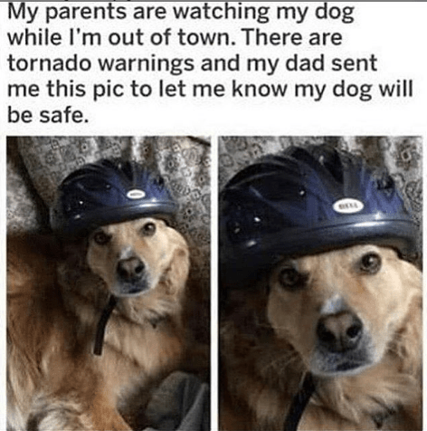 Wholesome animal meme - Dog - My parents are watching my dog while I'm out of town. There are tornado warnings and my dad sent me this pic to let me know my dog will be safe.