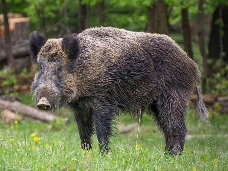 brown feral hog standing near trees