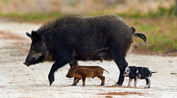 feral hog walking across a mud road with two piglets