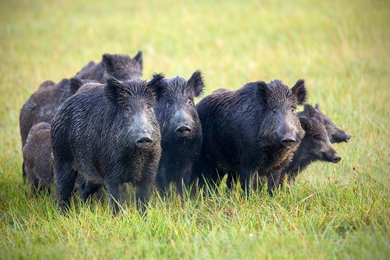 a group of black feral hogs standing close together in long grass