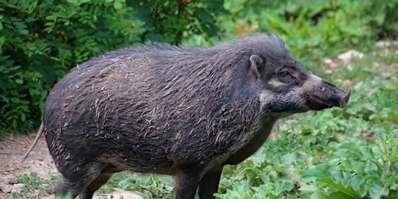 dark brown feral hog standing among bushes