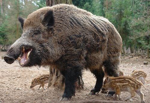 big feral hog opening mouth near three striped piglets