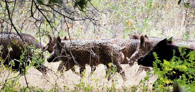 group of feral hogs running through trees