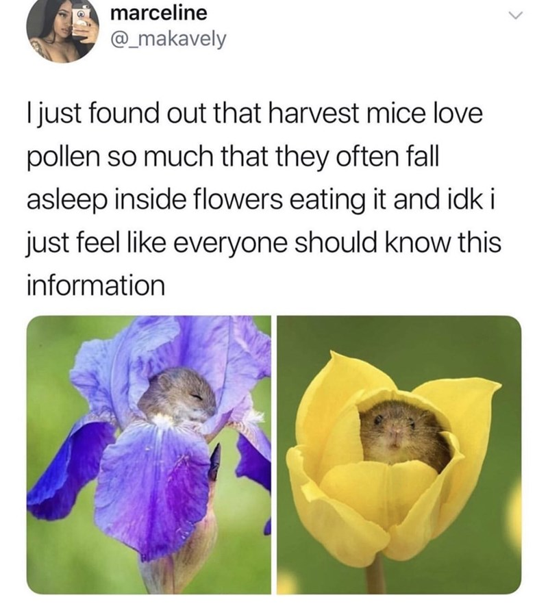 Flower - marceline @_makavely I just found out that harvest mice love pollen so much that they often fall asleep inside flowers eating it and idk i just feel like everyone should know this information
